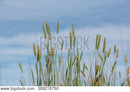 Pollen-loaded Tall Grass, Flowers, In The Spring Of California, During The Allergy Season, Against B