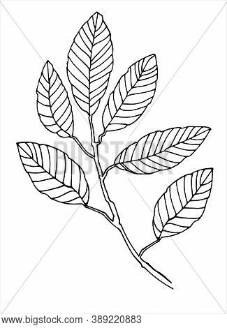 Elm Tree Branch Line Art. Realistic Hand Drawn Vector Illustration Of Elm. Isolated On White