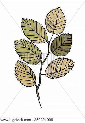 Elm Tree Branch Colorful Line Art. Realistic Hand Drawn Vector Illustration Of Elm. Isolated On Whit