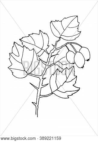 Hawthorn Branch Line Art. Realistic Hand Drawn Vector Illustration Of Hawberry Tree Branch. Isolated