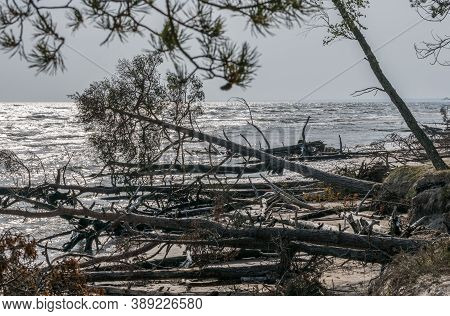 Dead Pine Trees On A Deserted Beach At Cape Mersrags On The Baltic Sea In Latvia.