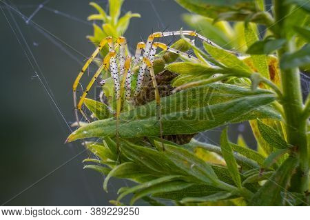 A Side View Of A Green Lynx Spider (peucetia Viridans) Protects Her Egg Sac. Raleigh, North Carolina