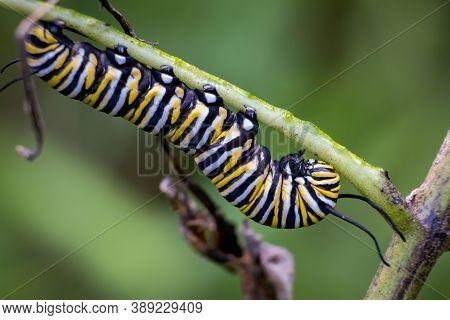 A Plump Monarch Caterpillar Makes It Way Down A Milkweed Stem. Raleigh, North Carolina.