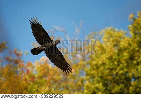 Common Raven - Corvus Corax Also Known As The Western Raven Or Northern Raven, Is A Large All-black