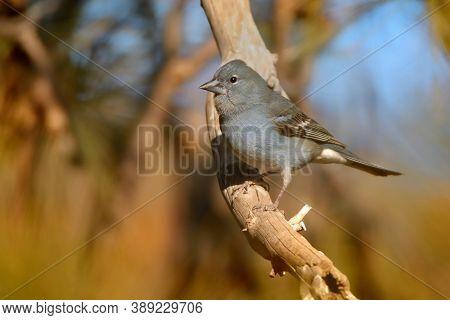Blue Chaffinch - Fringilla Teydea Blue Endemic Bird From Canary Islands, Species Of Passerine Bird I