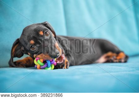 Baby Dachshund Plays And Nibbles Silicone Toy To Scratch Teeth And Not Spoil Furniture At New Home.