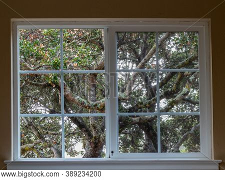View From The Window On The Beautiful Oak Trees In Belmont, California