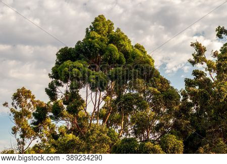 Eucalyptus Tree On The Hill In A Residential Garden In Belmont, California