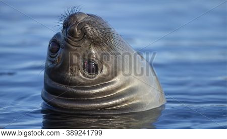 Southern Elephant Seal With Copy Space, Portrait Of A Cute Elephant Seal In The Water, Sea Lion Smil