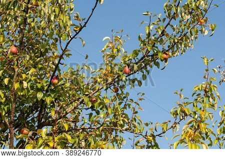 Branches Of A Pear Tree On A Sunny Day In Autumn With Ripe Fruits