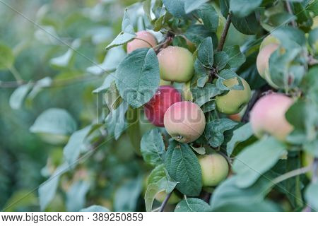 The Apples Are Hanging On The Tree. Red Apples In The Garden. Apples Close Up. Ruddy Apples. Grow Ap