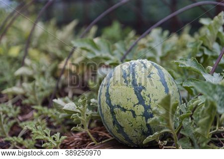 Watermelon In The Garden. Juicy Watermelon. The Fruit Grows In The Garden Bed. Agriculture. Grow Fru