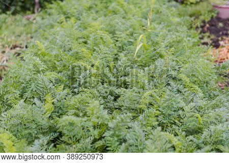 Carrots In The Garden. Carrot Leaves Close Up. Orange Carrots. Healthy Food. Fresh Vegetables. Grow