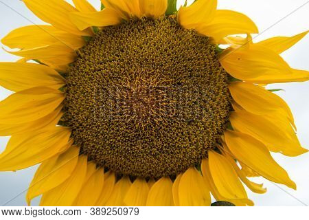 The Sunflower Is Growing. Sunflower Close-up. Sunflower Seeds. Agriculture. Grow Sunflowers. Sunflow