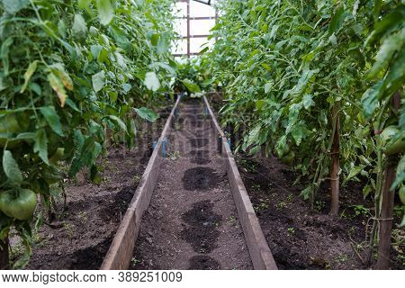 Tomatoes In The Greenhouse. Green Tomatoes Are Growing. Grow Vegetables In A Greenhouse. Agriculture