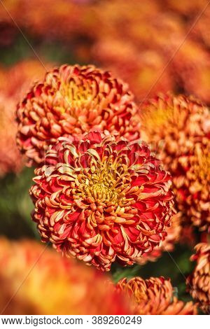 Orange And Red Chrysanthemums On A Blurry Background Close-up. Beautiful Bright Chrysanthemums Bloom