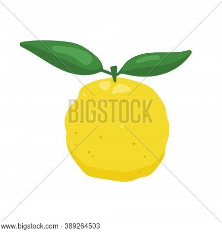 Yuzu Japaness Citron Fruit Vector Illustration Isolated On White Background. Full Citrus Yuzu Fresh
