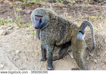 Gorgeous african baboon. Kenia. African savannah on the shores of Lake Nakuru