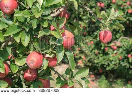 Close Up Of Tree Branch With Red Apples Fruits In Garden. Ripe Fruits In Orchard Ready For Harvestin