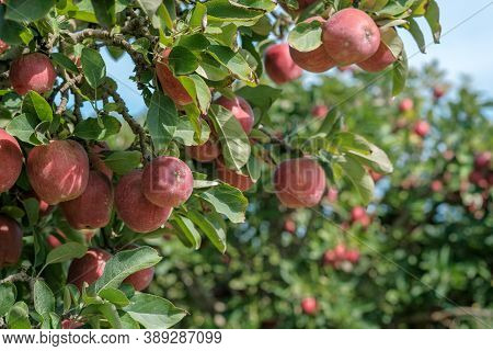 Ripe Red Apples Fruits On The Blue Sky And Garden Background With Copy Space. Ripe Fruits In Orchard