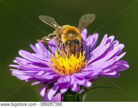 Detail Of Bee Or Honeybee In Latin Apis Mellifera, European Or Western Honey Bee Sitting On The Yell