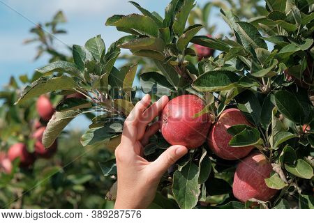 White Female Hand Holds On Fresh Ripe Red Apple From Apple Tree. Traditional Collecting Organic Frui