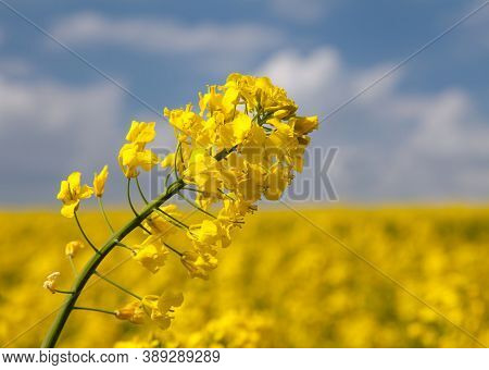 Detail Of Flowering Rapeseed Rape Seed Canola Or Colza Field In Latin Brassica Napus, Plant For Gree