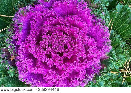 Decorative Cabbage (brassica Oleracea Var Acephala) In Garden. Top View Of Fresh Purple Ornamental C