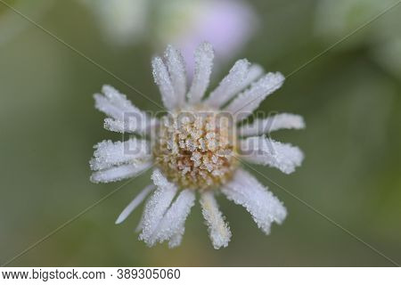 Flower In The Frost.chrysanthemum Flowers Close-up In Hoarfrost On A Blurred Background.frost On Pla