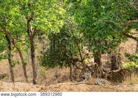 Wild Female Tiger Cub During Morning Safari At Bandhavgarh National Park Or Tiger Reserve Madhya Pra