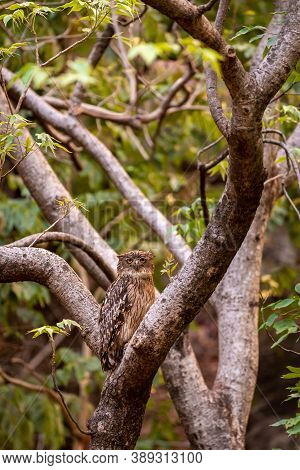 Brown Fish Owl Portrait Perched On Tree At Bandhavgarh National Park Or Tiger Reserve Madhya Pradesh