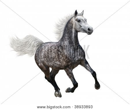 Galloping dapple-grey arabian horse on white background