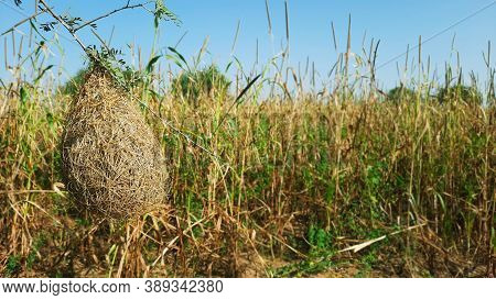 Masked Weaver Or Baya's Uncompleted Nest In A Field
