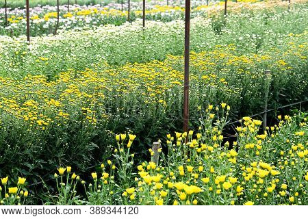 View Of Gerbera Cultivated Flower Beds And Chrysanthemum Flowers Are Being Cultivated On A Farm In S