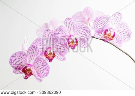 Close Up Of White And Vivid Pink Phalaenopsis Orchid Flowers In Full Bloom Isolated On White Studio