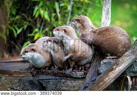 A group of Asian short -clawed otters, aonyx cinerea, huddled together. These semiaquatic mammels are considered vulnerable in the wild.