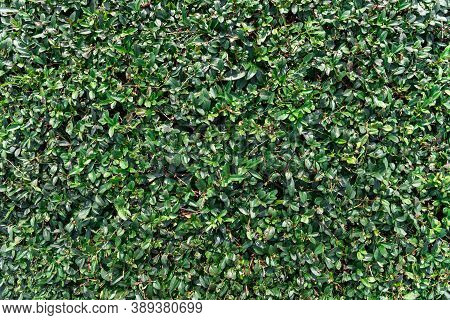 Green Small-leaved Shrub. The Texture Of Juicy Neatly Trimmed Foliage. Park Cutting Of Shrubs.