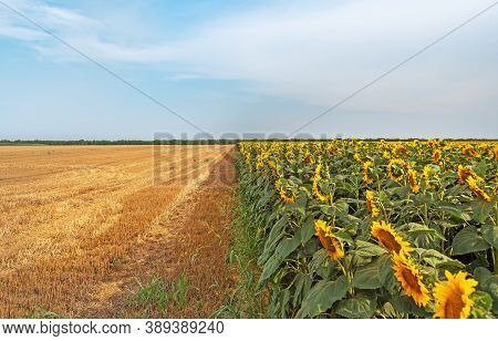 Field Of Blooming Sunflowers. Sunflower Field. Sunflower!