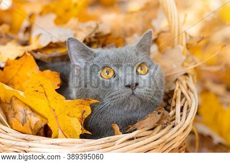 Grey Cat In The Basket. Cat Sitting In A Basket And Autumn Leaves . Young Cat. Autumn Vacation. Walk