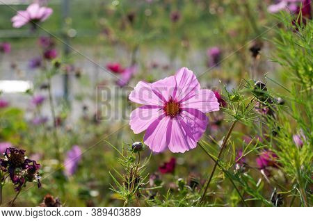 The Translucent Pink Petals Of Cosmos Bipinnatus Or Mexican Aster In Sunlight