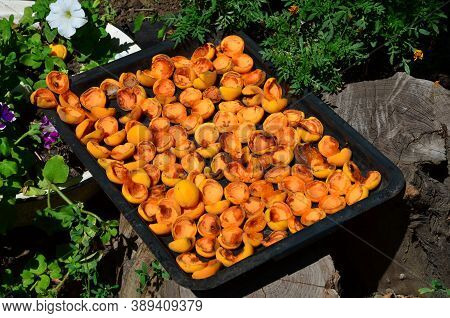Freshly Harvested Apricots Are Placed On A Metal Tray And Dried.