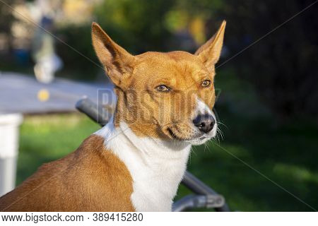 Portrait Of A Beautiful African Basenji Kongo Terrier Puppy Outdoors. Breed Of Hunting Dog Bred In A
