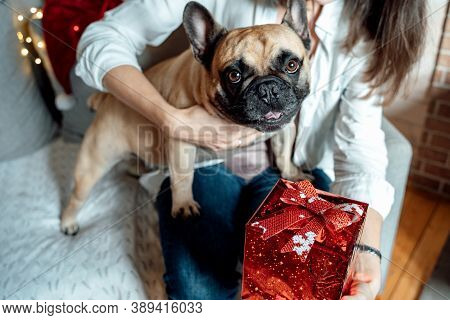 Woman With Dog,french Bulldog Holds Red Gift With Bow Sitting On Couch.garland.funny Pet With Owner.