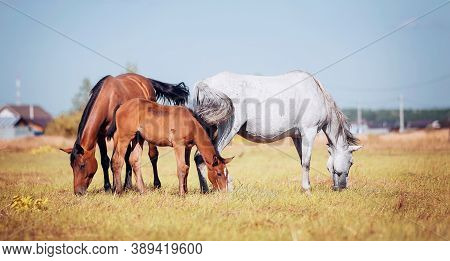 A Herd Of Sporting Horses Grazing On The Field. Horses Grazing In The Field. Rural Landscape.