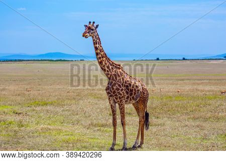 Giraffe in african savannah. Giraffe with small horns and a beautiful spotted skin. Jeep Safari Masai Mara, Kenya. The concept of active, environmental and photo tourism