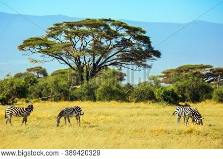 Family of striped zebras graze in the savannah. Southeast Kenya, the Amboseli park. Trip to the Horn of Africa, Kenya. Amboseli is a biosphere reserve by UNESCO. Desert flat top acacia