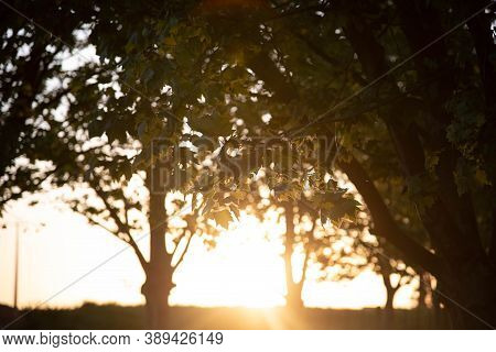Silhouette Of Sunset In Grove Of Maple Trees (platanus X Hispanica) In Brazil