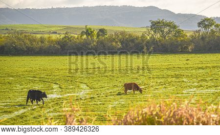 Farm Animals. Cows Feeding. Herd Of Cattle. Agropastoral Production Area.