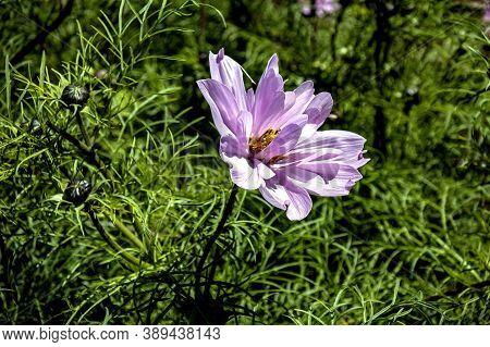 Purple Flowers With The Latin Name Cosmos Bipinnatus