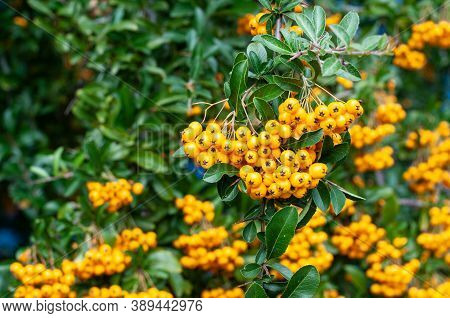 A Bush Of A Firethorn In A Garden With Hanging Yellow Berries